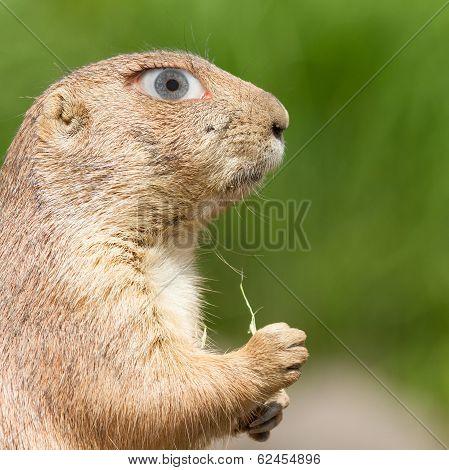 Prairie Dog With A Human Eye