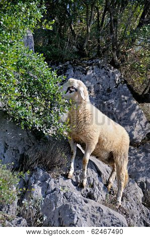 Sheep on the rocks grazing