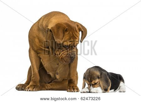 Dogue de Bordeaux sitting and looking at a Beagle puppy hiding