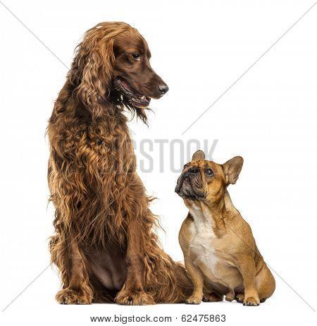 French Bulldog sitting and looking up at an Irish setter