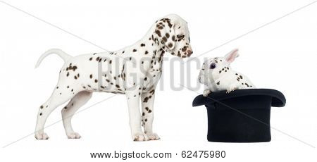Side view of a Dalmatian puppy standing and looking at a spotted rabbit in a topper hat