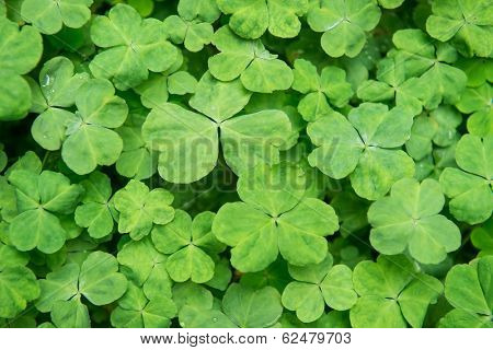 hree shamrock leaves in a clover patch poster