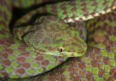 Portrait of brown and green poisonous snake closeup poster