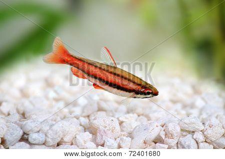 Coral Red Arc Pencilfish Nannostomus mortenthaleri aquarium Pencil fish