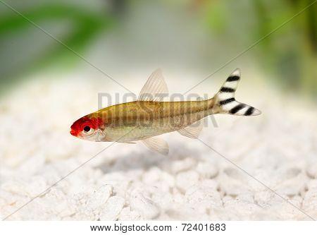 Rummy-nose Tetra Hemigrammus rhodostomus bleheri freshwater aquarium fish