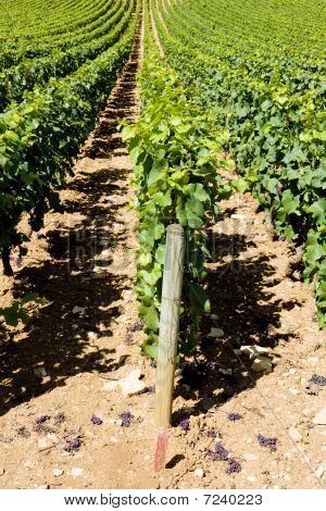 vineyards of Cote Maconnais region Burgundy