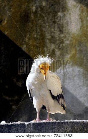 White Vulture Bird
