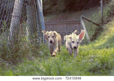Puppies runnning