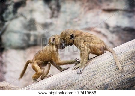 Two Little Cubs Of Guinea Baboon Are Playing On The Tree Trunk