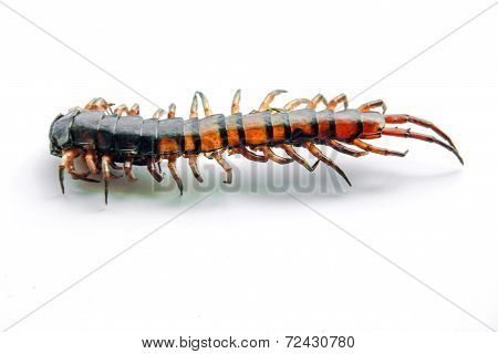 close up tail die centipede Ethmostigmus rubripes isolate poster