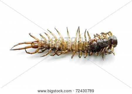 Die Centipede Ethmostigmus Rubripes