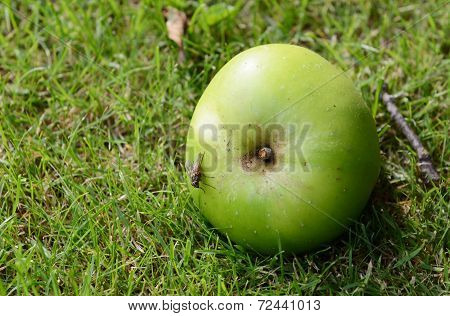 Fly On A Windfall Apple