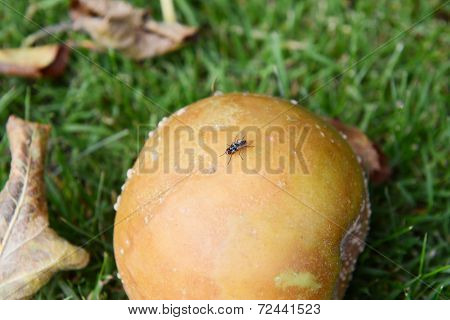Small Fly On A Rotten Windfall Apple