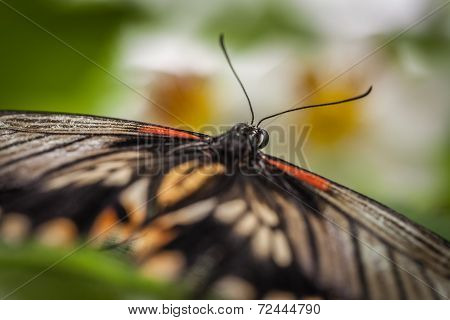 Great mormon butterfly close up