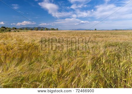 Young wheat growing in green farm field under cloudy blue sky poster