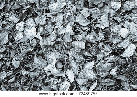 the autumn dry leaves of silvery color which have fallen down from trees lie on the earth poster
