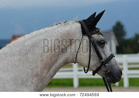 Flea-Bitten Arabian Stallion