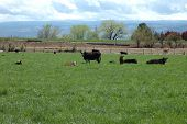 cows and calves in a green spring pasture, Grand Junction, Colorado poster