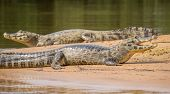 Long view of 2 Yacare Caiman (focus on nearest one) over sand with open jaws, Pantanal, Brazil poster