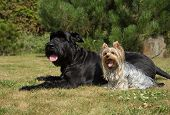 Yorkshire Terrier and Big Black Schnauzer Dod on the lawn. Both dogs have protruding tongue. poster