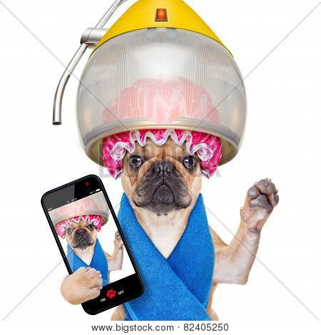 french bulldog dog under hood dryer drying hair taking a selfie and sharing the new hairstyle isolated on white background poster