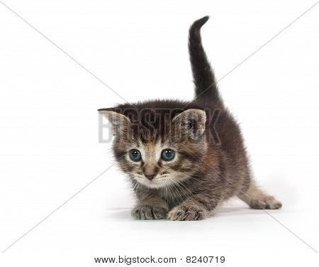 cute tabby kitten plays with blue string of yarn on white background poster