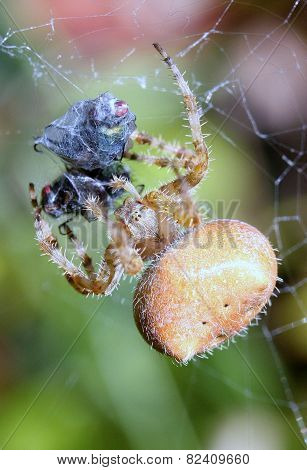 Spider catches Fly