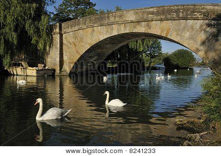 Swans on River Thames