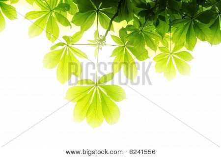 Fresh green maple  leaves against white background. poster
