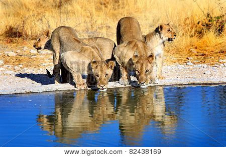 Lions drinking from a  waterhole with reflection