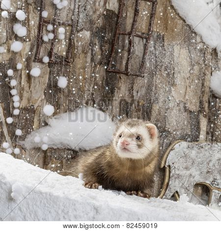 Ferret in front of a Christmas scenery
