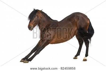 Andalusian horse stretching