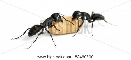 Two Carpenter ants, Camponotus vagus, carrying an egg