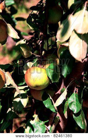 Apple tree with ripe apples