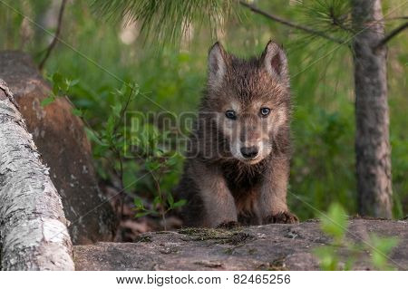 Grey Wolf (canis Lupus) Pup Climbs Over Rock