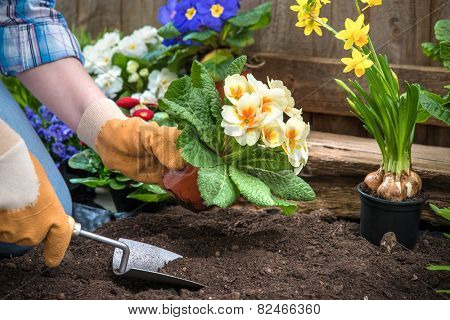Gardener planting flowers in pot with dirt or soil at back yard poster