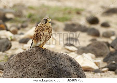 Kestrel (falco Tinnunculus)
