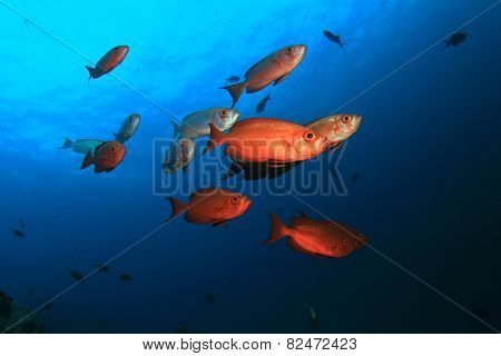 School of fish: Crescent-tailed Bigeyes