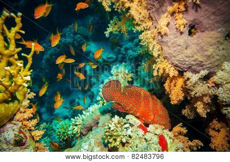 Blue-spotted tropical Anthias fish with net corals on Red Sea reef underwater