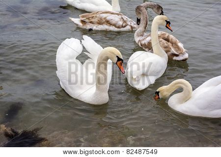 Covey Of Swans