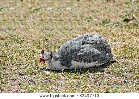 Guinea fowl sitting on grass