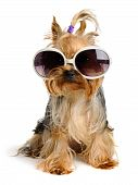yorkie in the sunglass on the white background poster