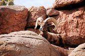 A male desert big horn sheep hiding behind a rock poster