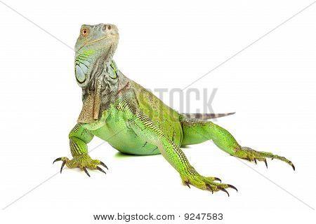 Green iguana, common iguana
