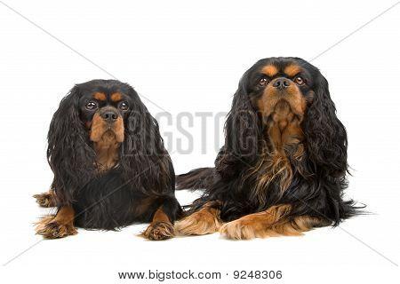 cavalier king charles dogs (cav,cavalier,cavie)