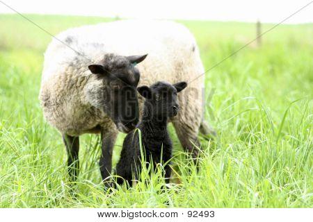 Black Baby Sheep With Its Mother