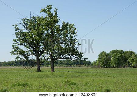Two Bur Oak trees thrive in a sedge meadow wetland. poster