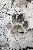 mountain lion tracks in mud on hiking trail poster