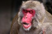 Portrait of adult male japanese macaque with mouth open - Macaca fuscata poster