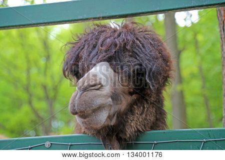A headshot of Bactrian camel (Camelus bactrianus) closeup